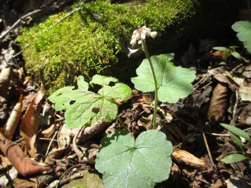Foamflower_7Apr17-1800