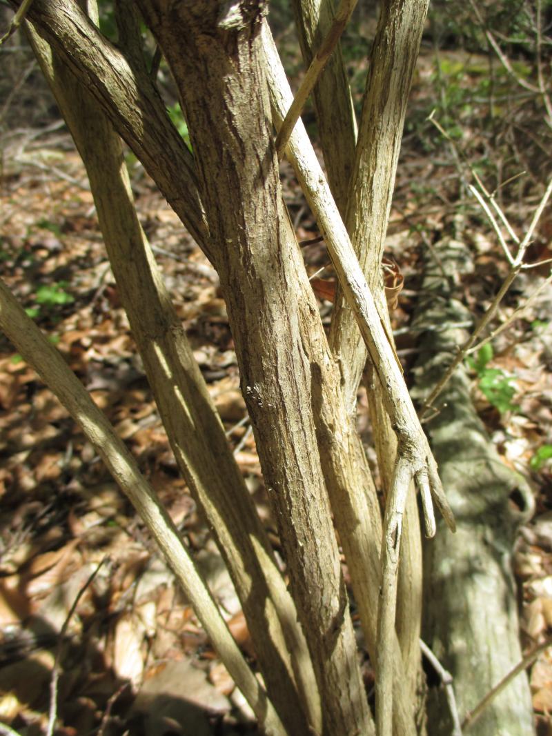 AmurHoneysuckle bark_7Apr17 (1)1800