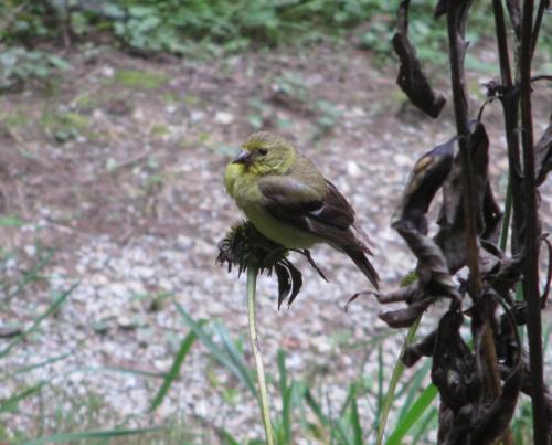 Goldfinch female_19Sep17 (6)-crop