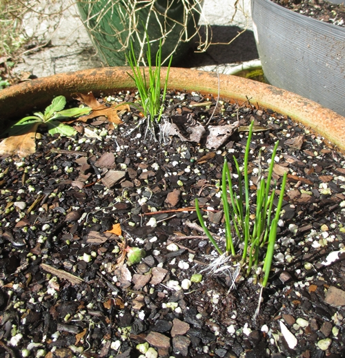 Chives_18Feb18 (4)-500