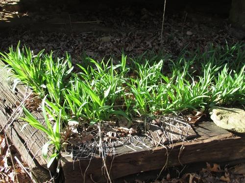 Daylilies_26Feb18 (1)500