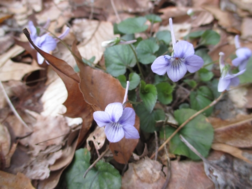 Longspur violet_6Apr18 (2)500