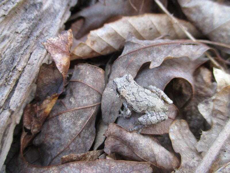 Gray Tree Frog_11Apr15 (3)