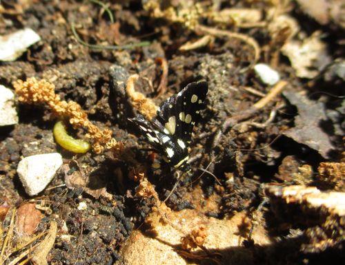 Thyris sepulchralis - Mournful Thyris_10May15 (3)-crop