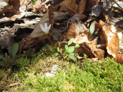 Springbeauty1_22Mar17 (4)1500