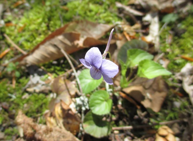 Longspur violet_9Apr17 (1)-1800