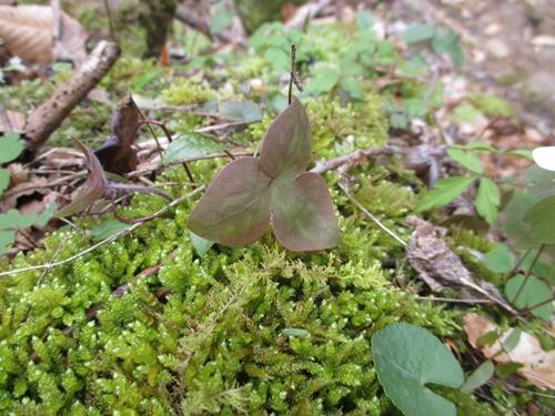 Hepatica leaves_9Apr18 (2)500