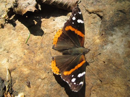 RedAdmiral_6May15 (4)