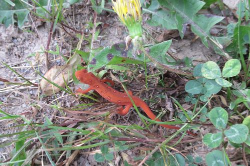 Red eft_16May15 (2)-crop