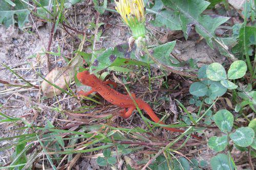 Red eft_16May15 (2)-crop