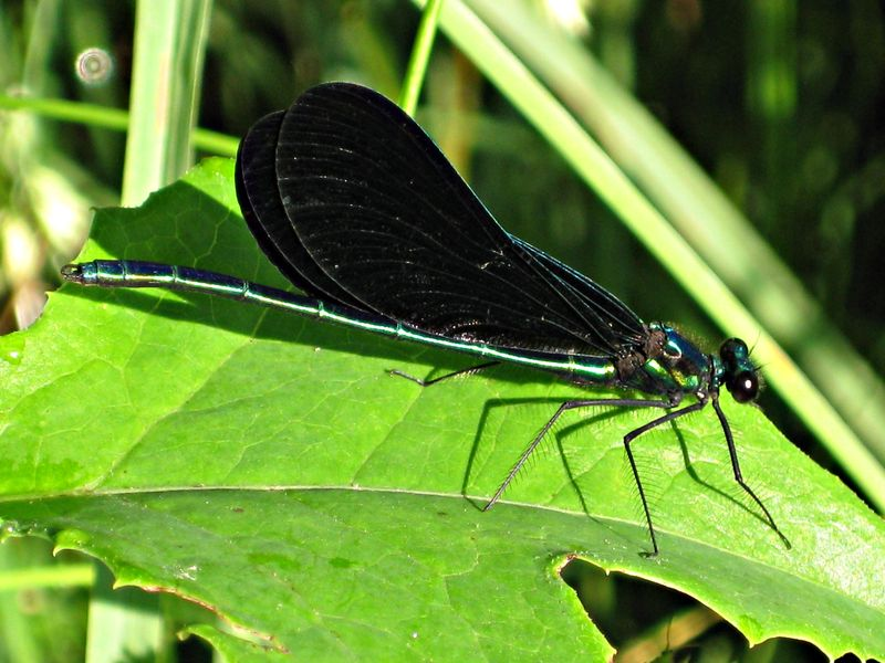 Broad-winged damselfly (10)