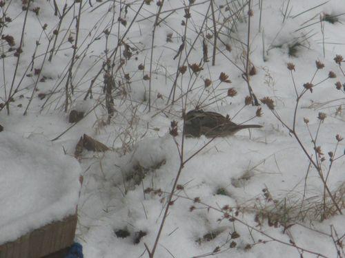 White-throated Sparrow_9Feb16 (2)1000