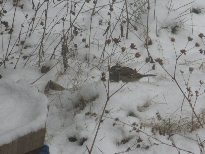 White-throated Sparrow_9Feb16 (2)1000