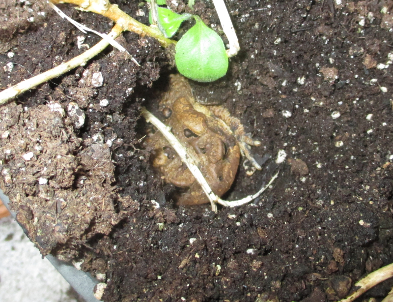 Fowlers toad in planter_30Sep16-crop