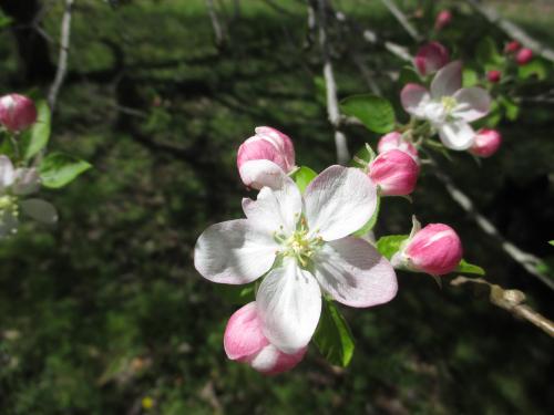 Apple_7Apr17 (1)