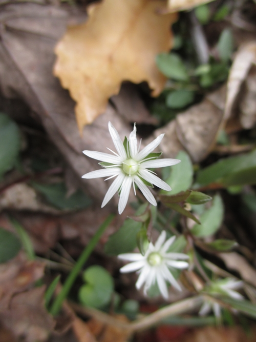 StarChickweed_23Mar18-500