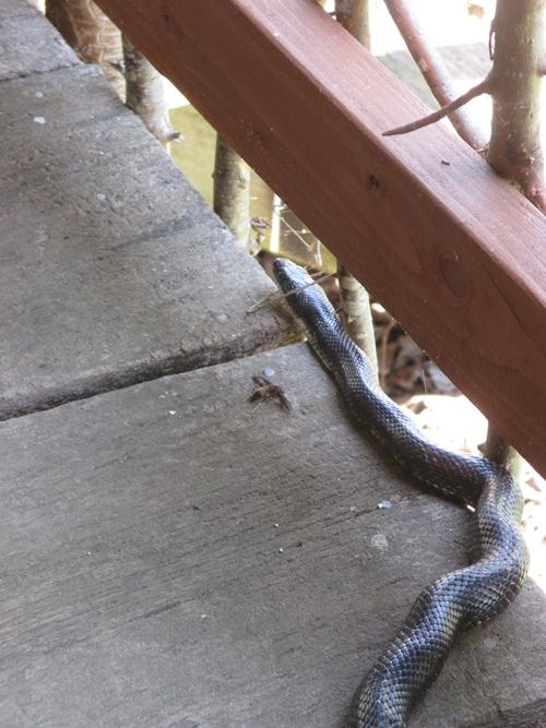 Rat snake_28Apr18 (13)500
