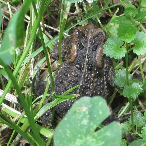 Toad_22May18 (1)-close500