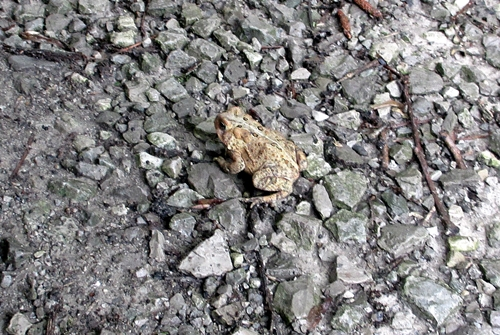 American toad_28May18 (6)500