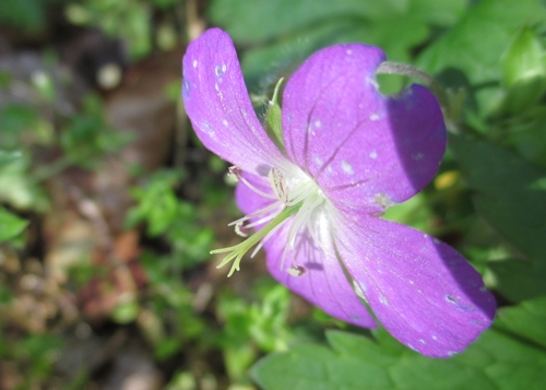 WldGeranium_18Apr18 (6)500