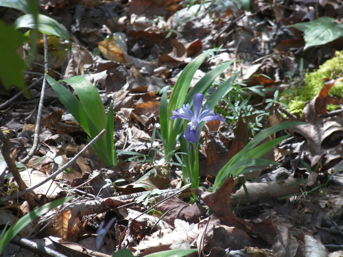 Dwarf crested iris_28Apr18
