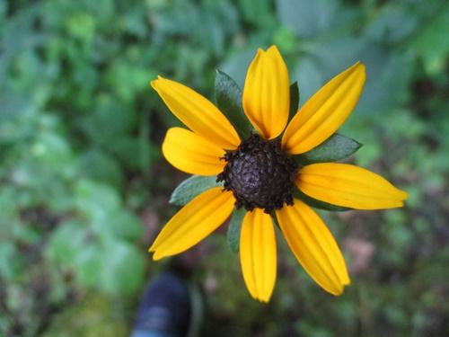Orange coneflower_13Jul18 (5)500
