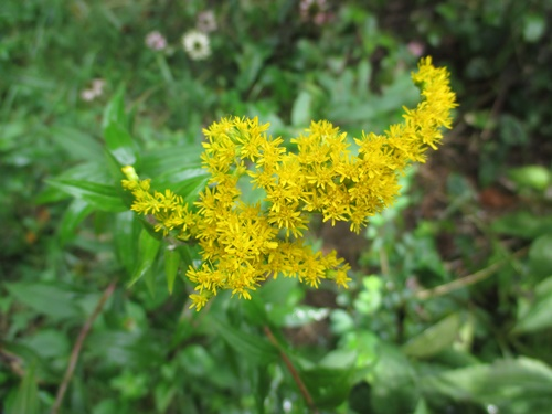 Goldenrod sp_29Aug18 (4)500