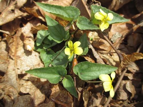 Halberd yellow violet_24Mar19 (8)500