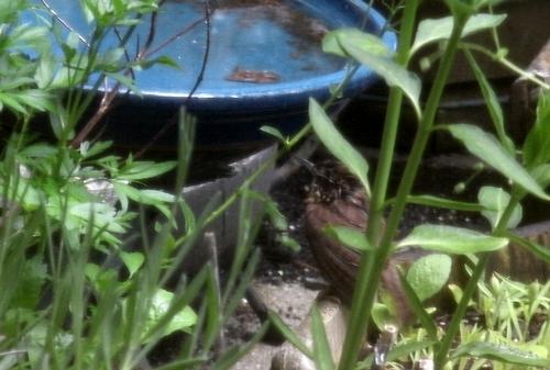 Wren bath_5May20 (7)-crop500ed