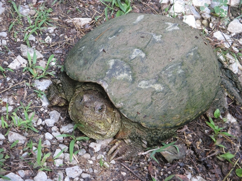 Snapping turtle on the lane_5Jun20 (9)500