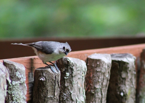 Titmouse_29May20 (3)-500