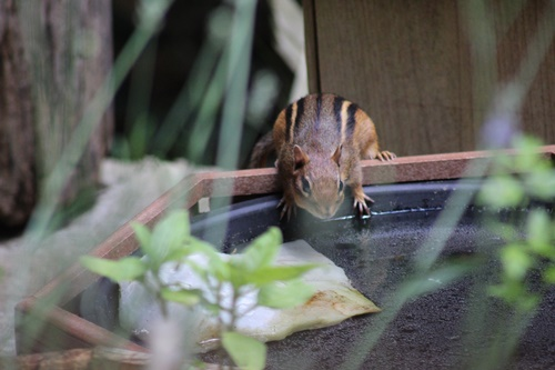 Chipmunk_12Jun20 (5)500