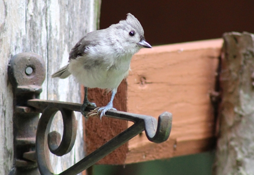 T-titmouse with bagworm cat_12Jul20 (4)-cr500
