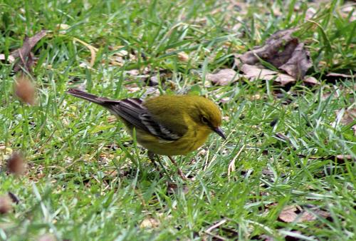 Pine Warbler_2Mar21 (2)-cr1600
