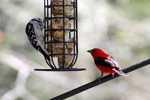 Tanager and Woodpecker_26Apr21 (3)500