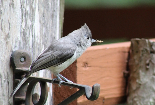 T-titmouse with bagworm cat_12Jul20 (5)-c500