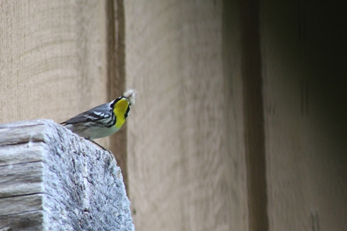 Yellow throated warbler_19May20 (2)r3k-500