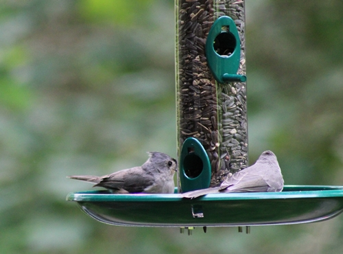 Fledgling titmouse and adult at feeder_8Jun20 (8)-c500