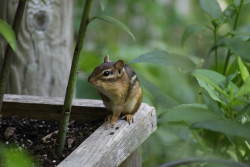 Chipmunk_12Jun20 (1)500