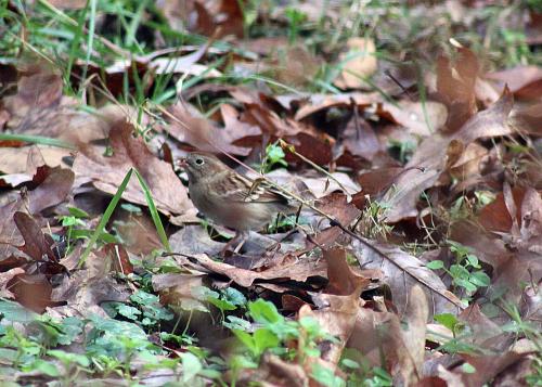 Field Sparrow_12Nov20 (2)-crS200CE100-1500