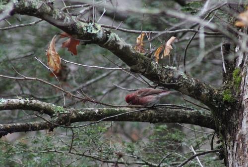 PrpFinch in tree_13Mar21-1600-500