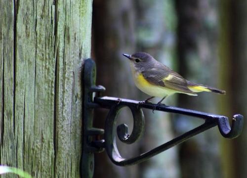 Redstart female_12May21 (1)-cr500